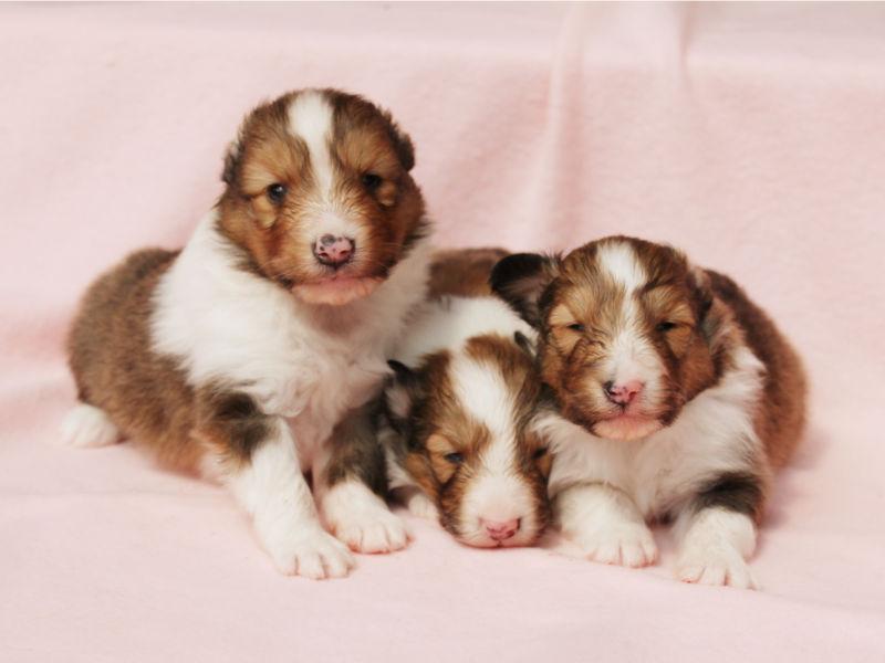 シェットランドシープドッグ(シェルティー)子犬販売、男の子、兄弟、ID11975、ID11976、ID11977