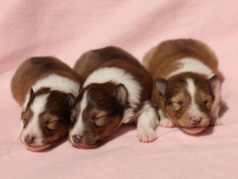 シェットランドシープドッグ(シェルティー)子犬販売、男の子、兄弟全員集合!その2、ID11978、ID11979、ID11980