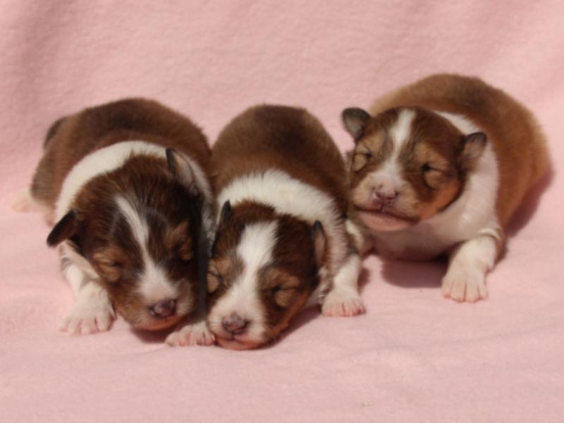 シェットランドシープドッグ(シェルティー)子犬販売、男の子、兄弟全員集合!その1、ID11978、ID11979、ID11980