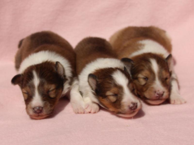 シェットランドシープドッグ(シェルティー)子犬販売、男の子、兄弟全員集合!その3、ID11978、ID11979、ID11980