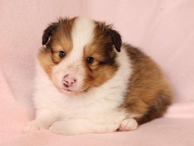 シェットランドシープドッグ(シェルティー)子犬販売、男の子、ふせ、ID11972