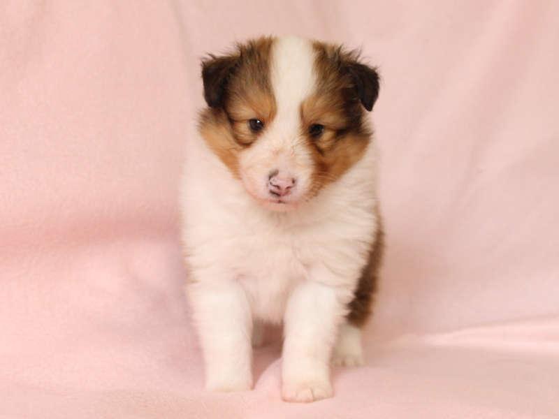 シェットランドシープドッグ(シェルティー)子犬販売、男の子、正面、立ち姿、ID11972
