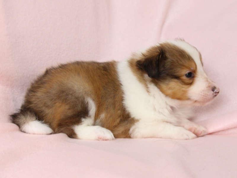 シェットランドシープドッグ(シェルティー)子犬販売、男の子、右側、ID11972