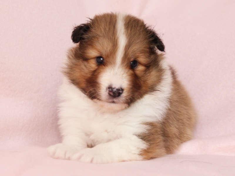 シェットランドシープドッグ(シェルティー)子犬販売、男の子、正面、ID11973