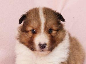 シェットランドシープドッグ(シェルティー)子犬販売、男の子、お顔、ID11973
