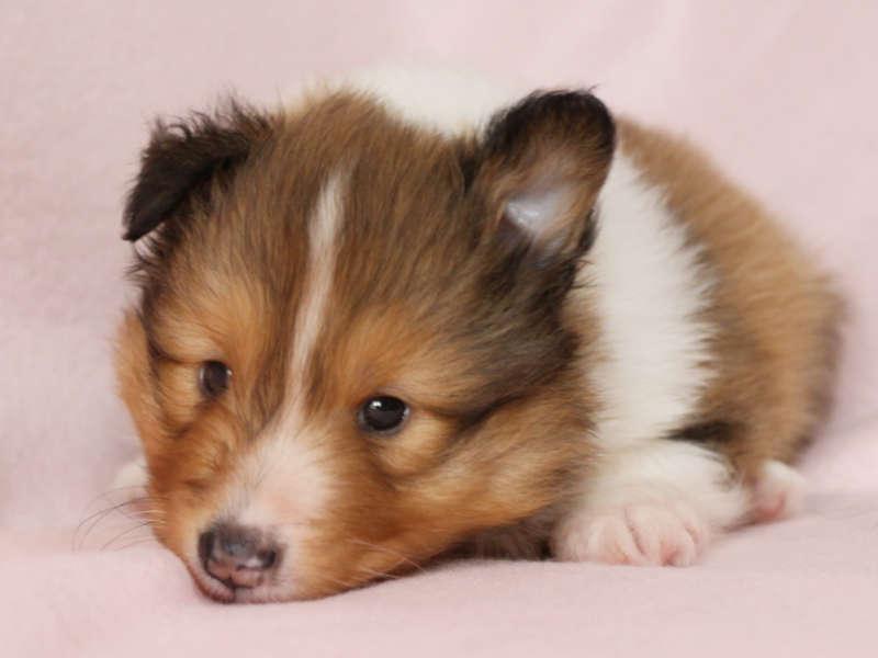 シェットランドシープドッグ(シェルティー)子犬販売、男の子、ふせ、ID11974