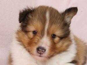 シェットランドシープドッグ(シェルティー)子犬販売、男の子、お顔、ID11974