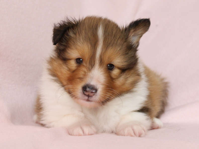 シェットランドシープドッグ(シェルティー)子犬販売、男の子、正面、ID11974