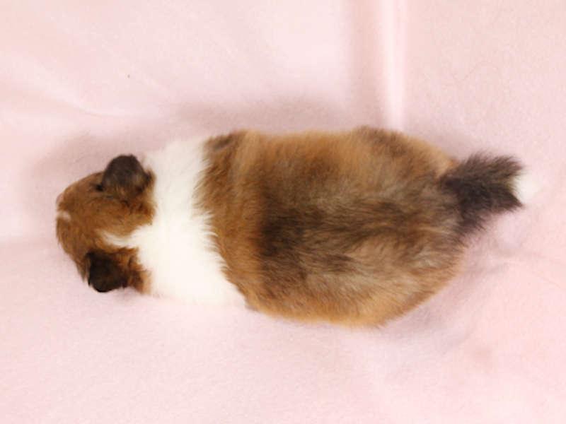 シェットランドシープドッグ(シェルティー)子犬販売、男の子、背中(柄:フルカラー)、ID11974