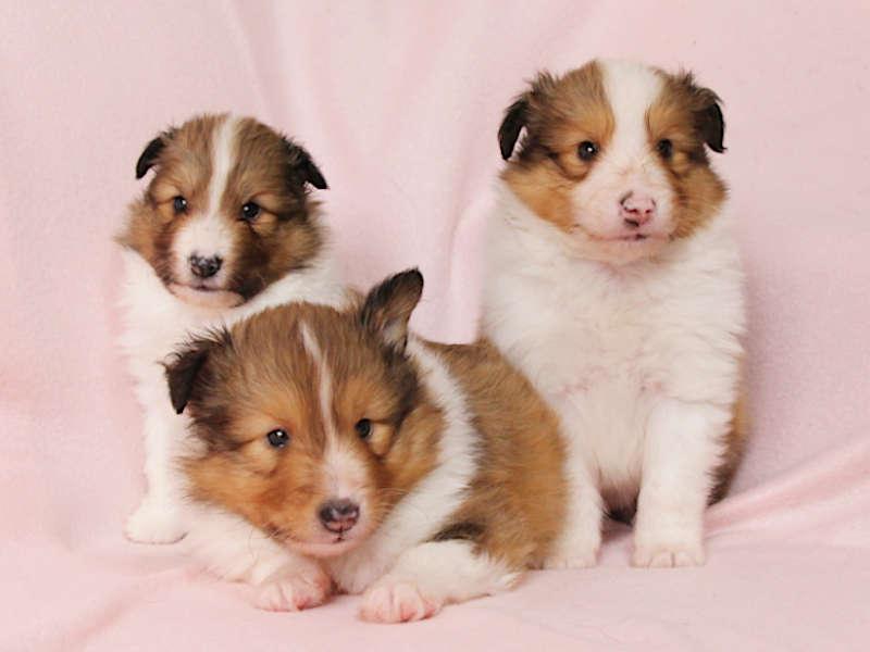 シェットランドシープドッグ(シェルティー)子犬販売、兄弟全員集合、ID11972、ID11973、ID11974