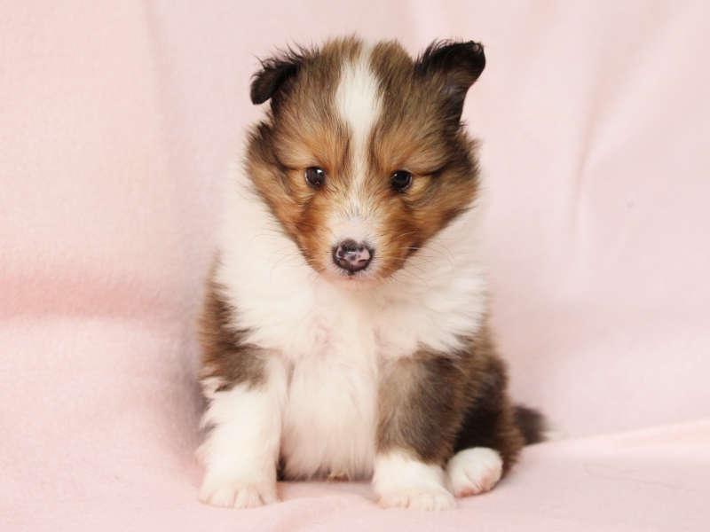 シェットランドシープドッグ(シェルティー)子犬販売、男の子、おすわり、ID11975