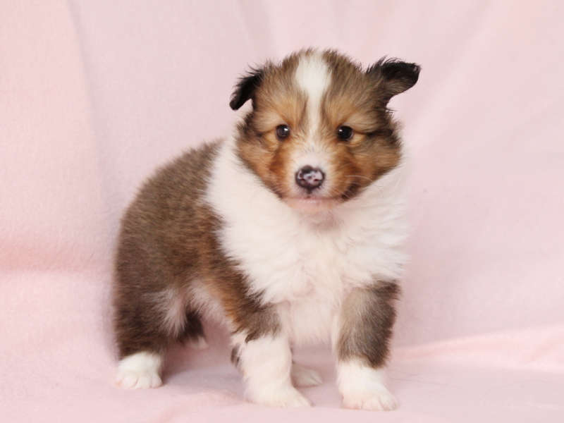 シェットランドシープドッグ(シェルティー)子犬販売、男の子、立ち姿、ID11975