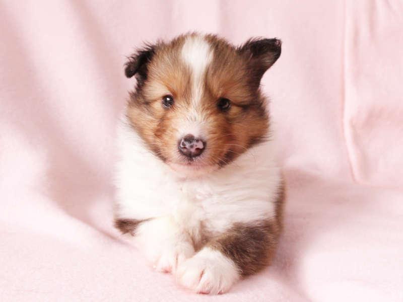 シェットランドシープドッグ(シェルティー)子犬販売、男の子、正面、おすわり、ID11975