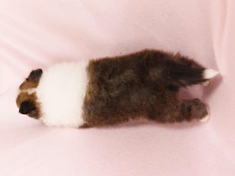 シェットランドシープドッグ(シェルティー)子犬販売、男の子、背中(柄:フルカラー)、ID11975
