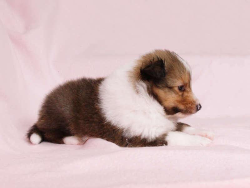 シェットランドシープドッグ(シェルティー)子犬販売、男の子、右側(柄:フルカラー)、ID11975