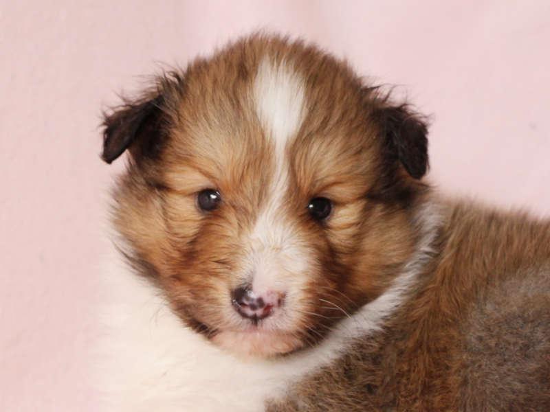 シェットランドシープドッグ(シェルティー)子犬販売、男の子、お顔、ID11976