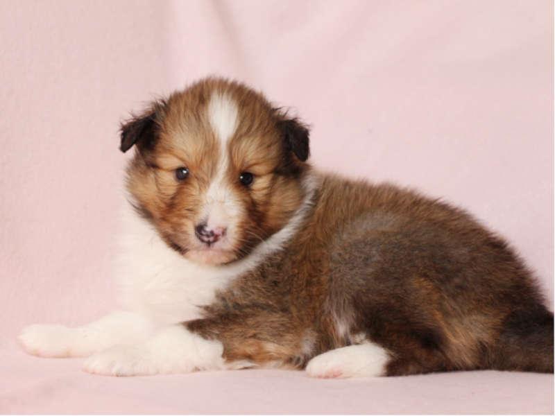 シェットランドシープドッグ(シェルティー)子犬販売、男の子、左側、ふせ、ID11976
