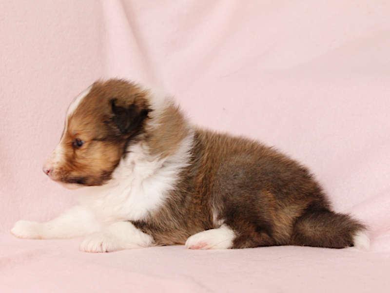 シェットランドシープドッグ(シェルティー)子犬販売、男の子、左側(柄:フルカラー)、ID11976