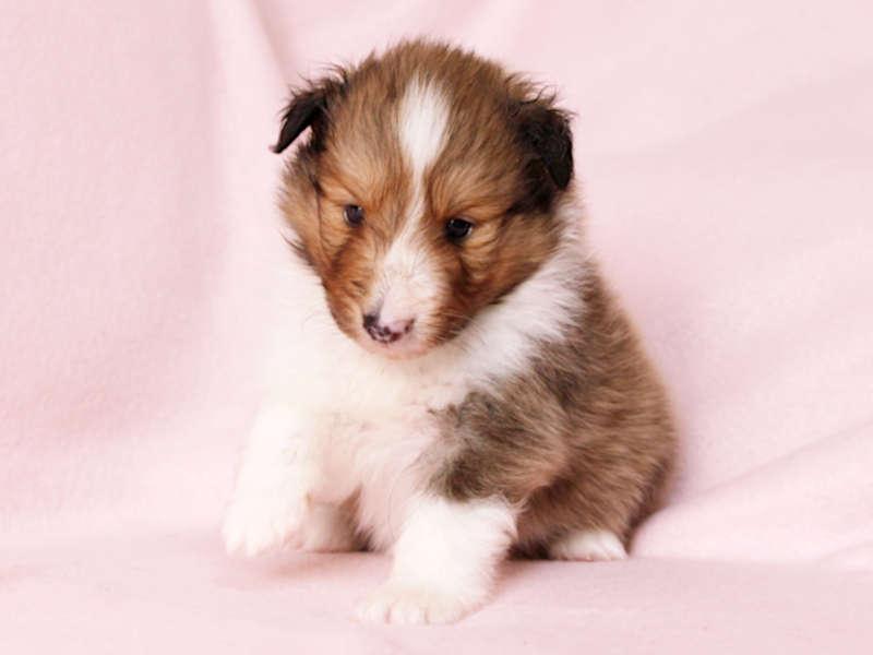 シェットランドシープドッグ(シェルティー)子犬販売、男の子、正面、おすわり、ID11976