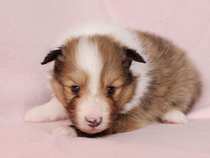 シェットランドシープドッグ(シェルティー)子犬販売、男の子、お顔、ふせ、ID11977