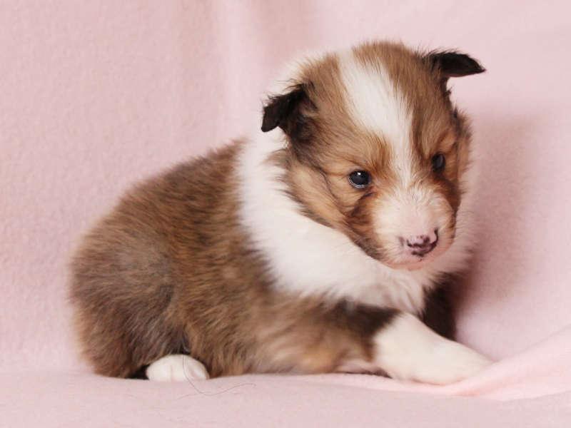 シェットランドシープドッグ(シェルティー)子犬販売、男の子、右側、おすわり、ID11977