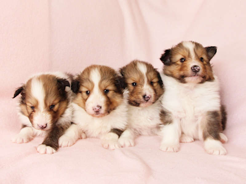 シェットランドシープドッグ(シェルティー)子犬販売、兄弟姉妹全員集合、ID11975、ID11976、ID11977+牝(Female)