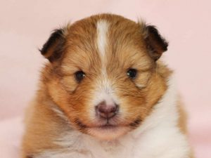 シェットランドシープドッグ(シェルティー)子犬販売、男の子、お顔、ID11978