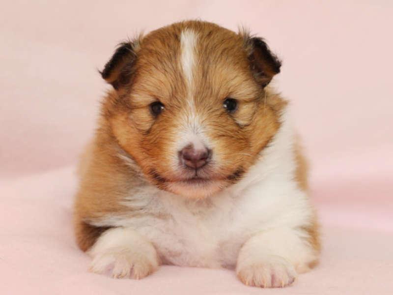 シェットランドシープドッグ(シェルティー)子犬販売、男の子、正面、ふせ、ID11978