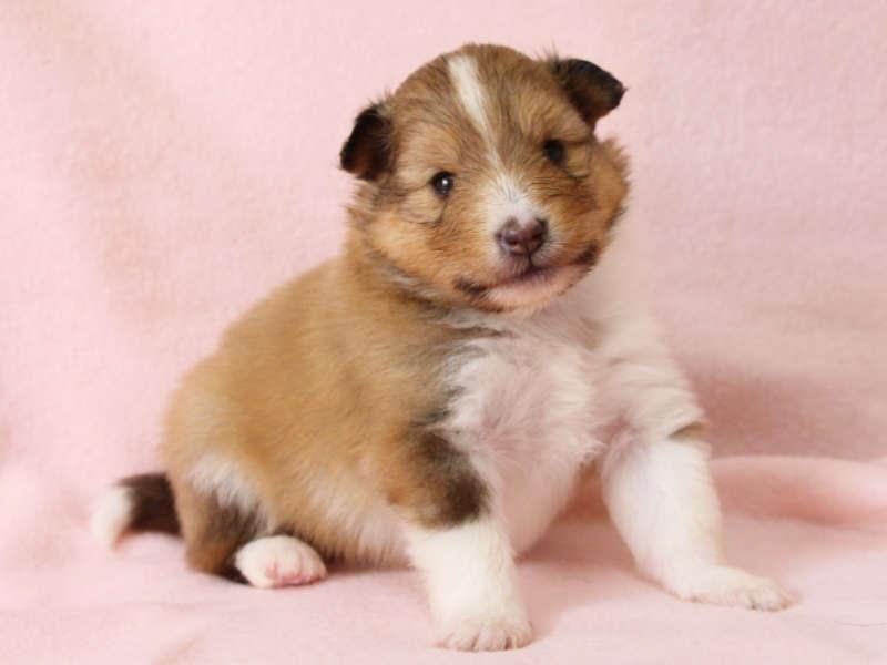 シェットランドシープドッグ(シェルティー)子犬販売、男の子、右側、おすわり、ID11978