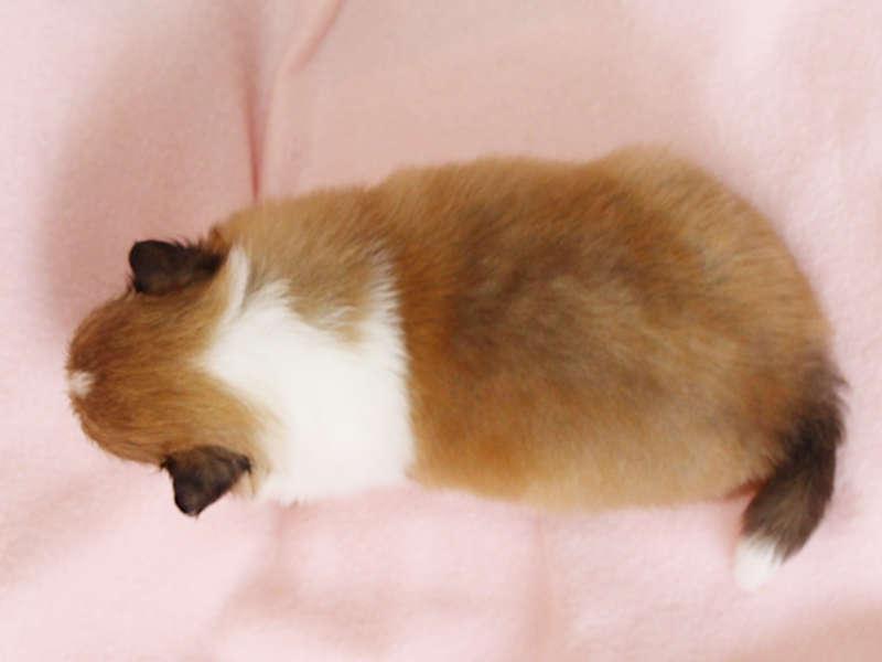 シェットランドシープドッグ(シェルティー)子犬販売、男の子、背中、ID11978