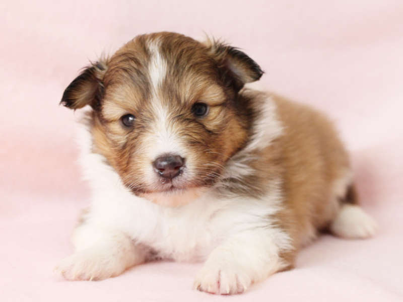 シェットランドシープドッグ(シェルティー)子犬販売、男の子、正面、ふせ、ID11979