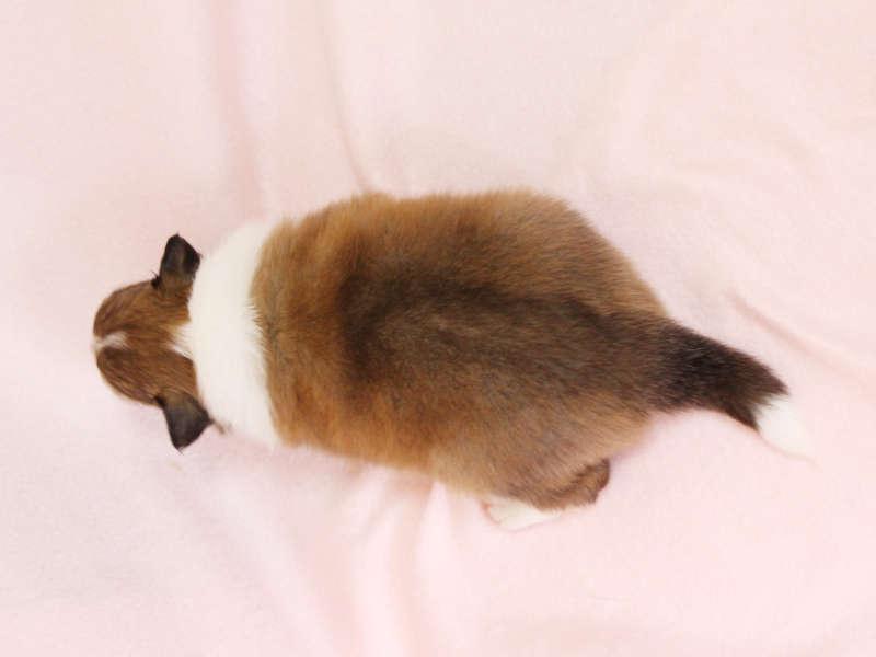 シェットランドシープドッグ(シェルティー)子犬販売、男の子、背中(柄:フルカラー)、ID11979