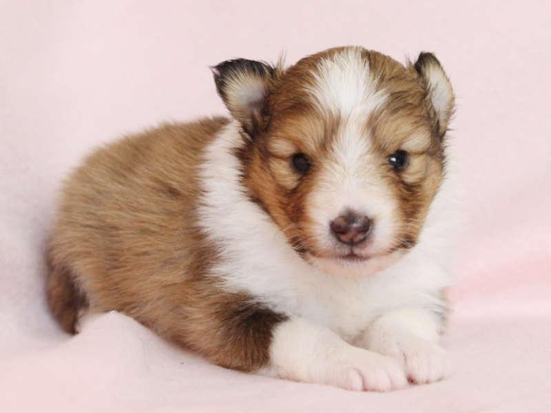 シェットランドシープドッグ(シェルティー)子犬販売、男の子、ふせ、ID11980