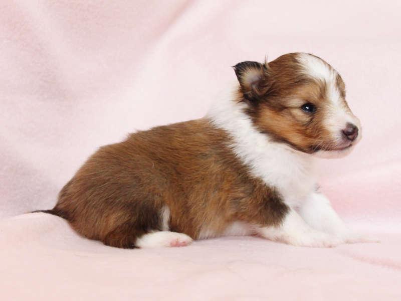 シェットランドシープドッグ(シェルティー)子犬販売、男の子、右側(柄:フルカラー)、ID11980