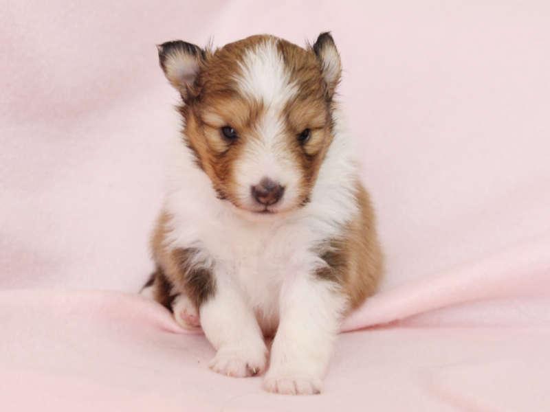 シェットランドシープドッグ(シェルティー)子犬販売、男の子、おすわり、ID11980