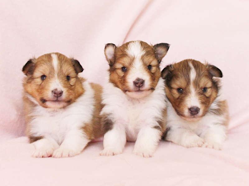 シェットランドシープドッグ(シェルティー)子犬販売、男の子、兄弟全員集合!、ID11978、ID11979、ID11980