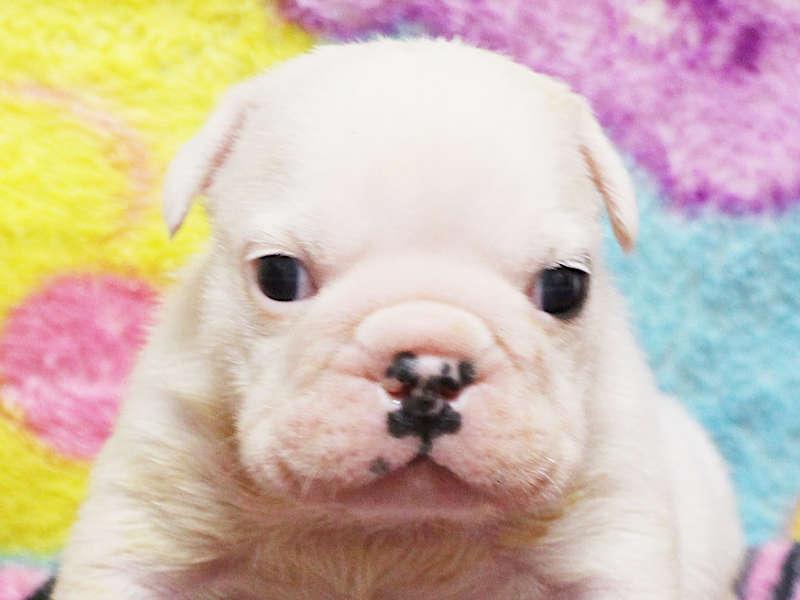 ブルドッグ子犬販売、男の子、千葉県ブリーダー、ID11992