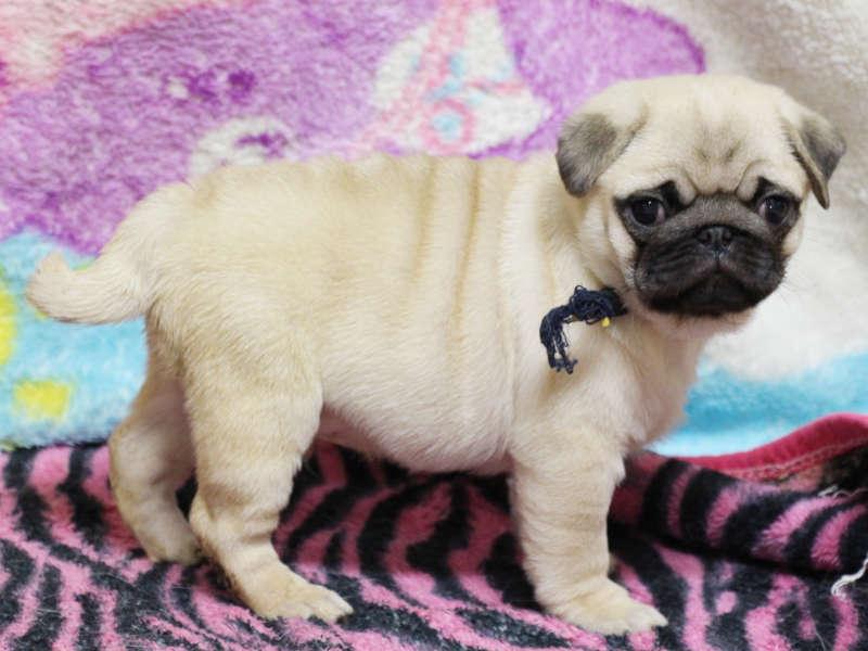 パグ子犬販売、男の子、2019年3月産まれ、千葉県ブリーダー、ID11993