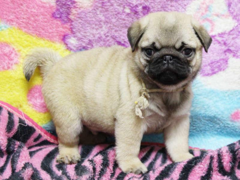 パグ子犬販売、男の子、2019年3月産まれ、千葉県ブリーダー、ID11994