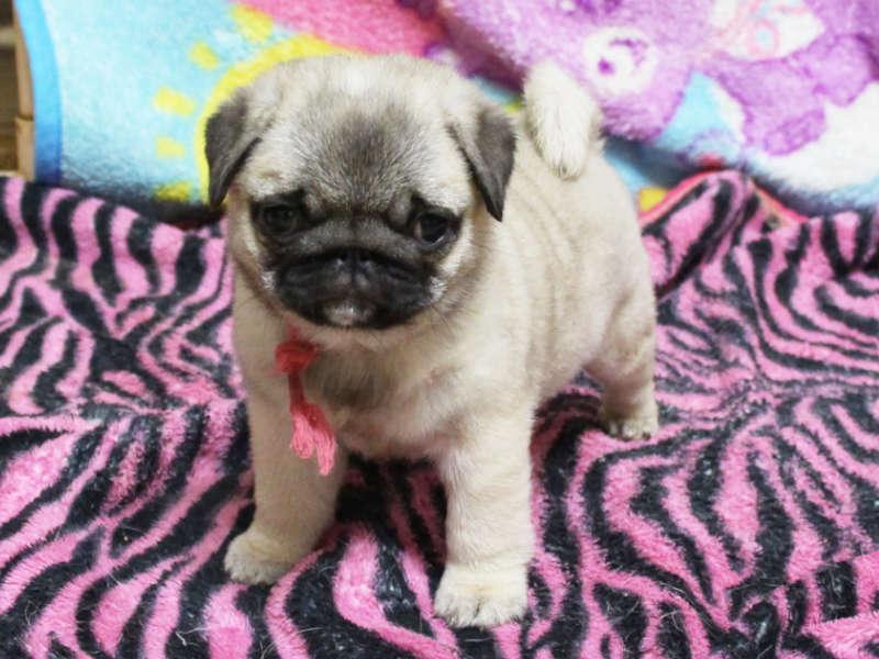 パグ子犬販売、女の子、2019年3月産まれ、千葉県ブリーダー、ID11995
