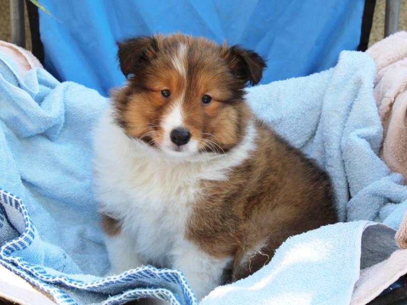 シェットランドシープドッグ(シェルティー)子犬販売、女の子、2019年4月1日産まれ、神奈川県ブリーダー、ID12010