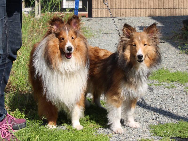 シェットランドシープドッグ(シェルティー)子犬販売、女の子、2019年4月1日産まれ、両親、神奈川県ブリーダー、ID12010