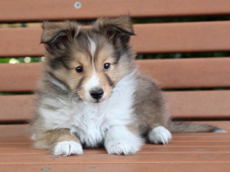 シェットランドシープドッグ(シェルティー)子犬販売、女の子、2019年4月3日産まれ、東京都ブリーダー、ID12013