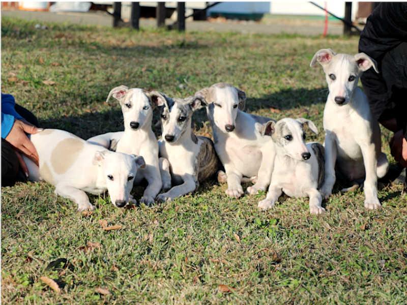 ウィペット子犬販売、男の子(牡、Male)、女の子(牝、Female)、兄弟姉妹全員集合!、2019年9月11日産まれ、千葉県ブリーダー、ID11705、ID11706、ID11707、ID11708、ID11709、ID11710