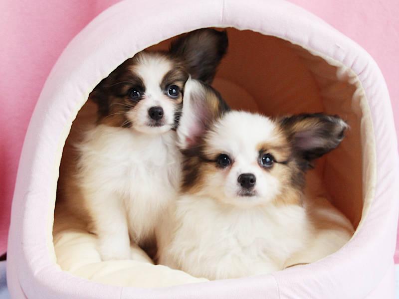 パピヨン子犬、女の子、2019年8月29日生まれ、埼玉県、ブリーダー、姉妹全員集合、ID11672、ID11672