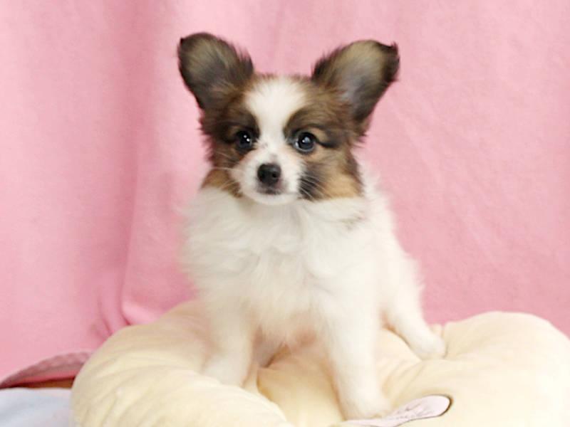 パピヨン子犬、女の子、2019年8月29日生まれ、埼玉県、ブリーダー、ID11671