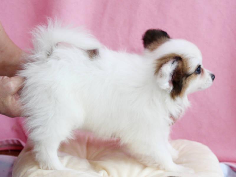 パピヨン子犬、女の子、2019年8月29日生まれ、埼玉県、ブリーダー、ID11672