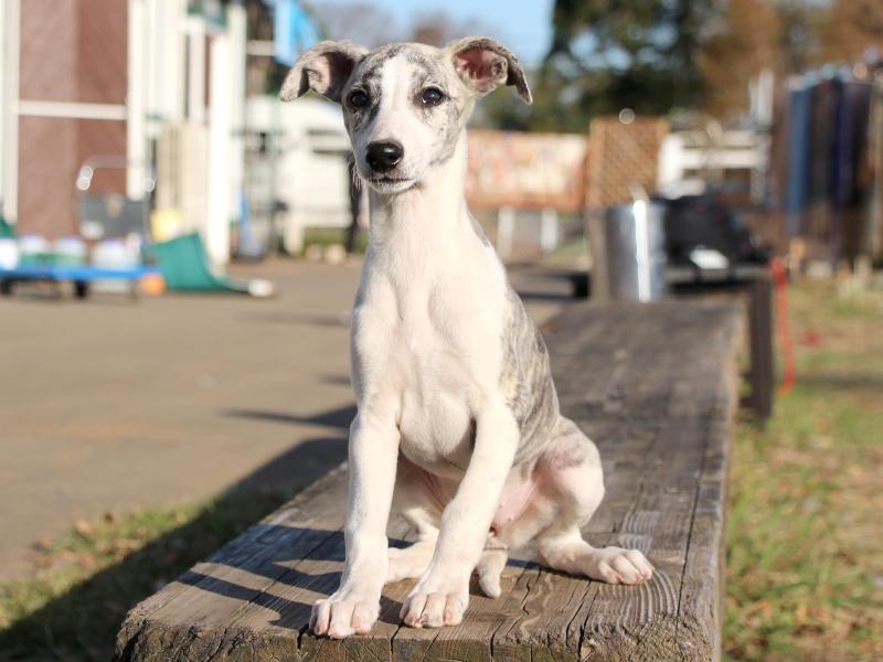 ウィペット子犬販売、女の子(牝、Female)、ホワイト&ブリンドル、2019年9月11日産まれ、千葉県ブリーダー、おすわり、ID11708