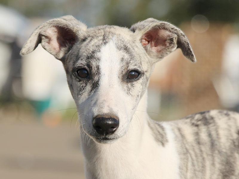 ウィペット子犬販売、女の子(牝、Female)、ホワイト&ブリンドル、2019年9月11日産まれ、千葉県ブリーダー、お顔、ID11708