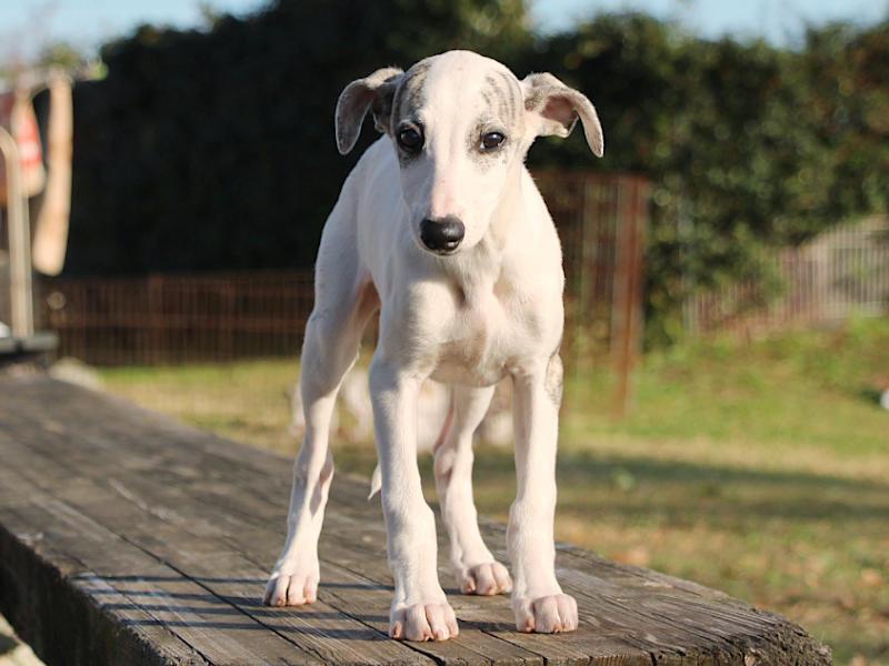 ウィペット子犬販売、女の子(牝、Female)、ホワイト&ブリンドル、2019年9月11日産まれ、千葉県ブリーダー、正面、立ち姿、ID11709